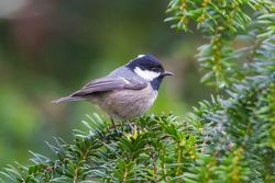 Coal Tit photographed at Saumarez Park [SAU] on 11/1/2016. Photo: © Adrian Gidney