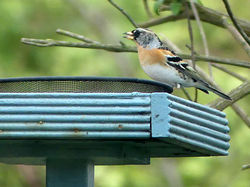 Brambling photographed at Route de Carteret on 17/1/2016. Photo: © Judy Down