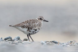 Grey Plover photographed at Shingle Bank [SHI] on 30/1/2016. Photo: © Andy Marquis