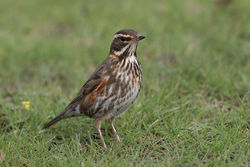 Redwing photographed at Beau Sejour [BEA] on 3/3/2016. Photo: © Rod Ferbrache