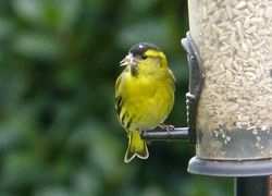 Siskin photographed at Ville es Pies [VEP] on 8/3/2016. Photo: © Tracey Henry