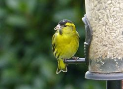 Siskin photographed at Ville es Pies [VEP] on 8/3/2016. Photo: © Min Henry