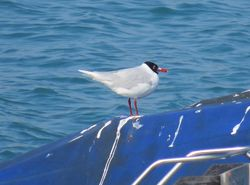 Mediterranean Gull photographed at Town Harbour [TOW] on 15/3/2016. Photo: © Wayne Turner