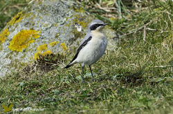 Wheatear photographed at Fort Hommet [HOM] on 18/3/2016. Photo: © Colin Mucklow