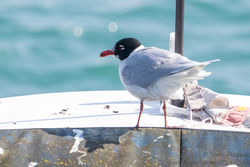 Mediterranean Gull photographed at Town Harbour [TOW] on 17/3/2016. Photo: © Andy Marquis