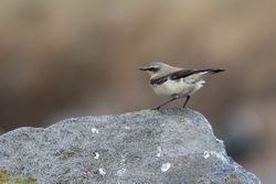 Wheatear photographed at Jaonneuse [JAO] on 19/3/2016. Photo: © Rod Ferbrache