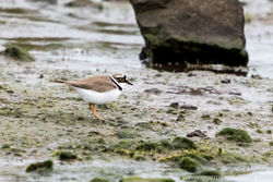 Little Ringed Plover photographed at Colin Best NR [CNR] on 26/3/2016. Photo: © Andy Marquis