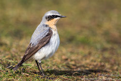 Wheatear photographed at Fort Doyle [DOY] on 28/3/2016. Photo: © Andy Marquis