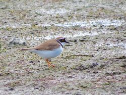 Little Ringed Plover photographed at Colin Best NR [CNR] on 28/3/2016. Photo: © Mark Guppy