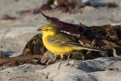 Yellow Wagtail photographed at Jaonneuse [JAO] on 5/4/2016. Photo: © Rod Ferbrache