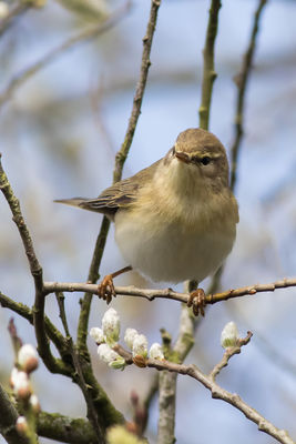 Willow Warbler photographed at Rue des Bergers [BER] on 6/4/2016. Photo: © Rod Ferbrache