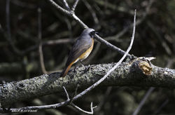 Redstart photographed at Pleinmont [PLE] on 11/4/2016. Photo: © Colin Mucklow