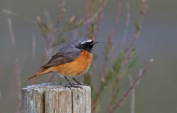 Redstart photographed at Colin Best NR [CNR] on 13/4/2016. Photo: © Anthony Loaring