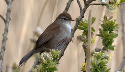 Cetti's Warbler photographed at Grands Marais/Pre [PRE] on 17/4/2016. Photo: ©  Rockdweller