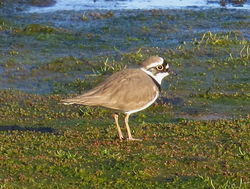 Little Ringed Plover photographed at Colin Best NR [CNR] on 17/4/2016. Photo: © Mary Simmons