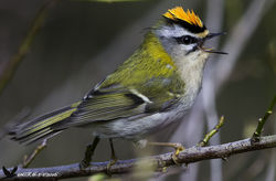 Firecrest photographed at Reservoir [RES] on 4/4/2016. Photo: © Colin Mucklow
