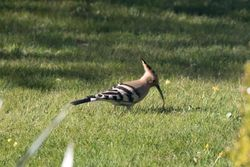 Hoopoe photographed at Rue des Monts on 18/4/2016. Photo: © Vic Froome