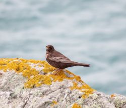 Ring Ouzel photographed at Pleinmont [PLE] on 23/4/2016. Photo: © Mark Guppy