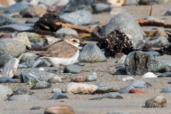 Kentish Plover photographed at Grandes Havres [GHA] on 6/5/2016. Photo: © Andy Marquis