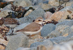 Kentish Plover photographed at Grandes Havres [GHA] on 6/5/2016. Photo: © Mark Lawlor