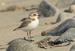 Kentish Plover photographed at Grandes Havres [GHA] on 6/5/2016. Photo: © Anthony Loaring