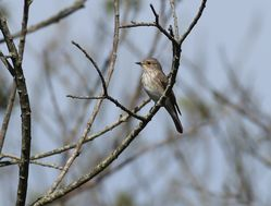 Spotted Flycatcher photographed at Grands Marais/Pre [PRE] on 7/5/2016. Photo: © Julie Davis