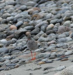 Redshank photographed at Shingle Bank [SHI] on 11/5/2016. Photo: © Julie Davis