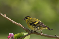 Siskin photographed at Bas Capelles [BAS] on 17/5/2016. Photo: © Rod Ferbrache