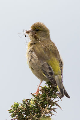 Greenfinch photographed at Fort Doyle [DOY] on 13/6/2016. Photo: © Rod Ferbrache