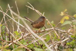 Dartford Warbler photographed at South Coast Cliffs on 17/6/2016. Photo: © Rod Ferbrache