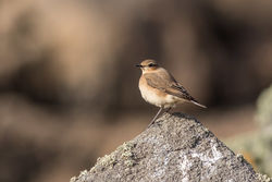 Wheatear photographed at Chouet [CHO] on 7/8/2016. Photo: © Rod Ferbrache