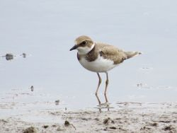 Little Ringed Plover photographed at Claire Mare [CLA] on 18/8/2016. Photo: © Mark Guppy