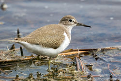 Common Sandpiper photographed at Claire Mare [CLA] on 20/8/2016. Photo: © Andy Marquis