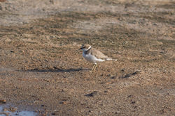 Little Ringed Plover photographed at Claire Mare [CLA] on 20/8/2016. Photo: © Rod Ferbrache