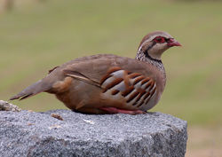 Red-legged Partridge photographed at Rousse [ROU] on 17/8/2016. Photo: © Mark Lawlor