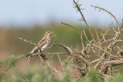 Wryneck photographed at Pleinmont [PLE] on 24/8/2016. Photo: © Rod Ferbrache