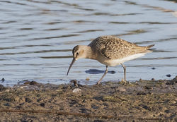 Curlew Sandpiper photographed at Claire Mare [CLA] on 26/8/2016. Photo: © Anthony Loaring