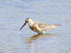Curlew Sandpiper photographed at Claire Mare [CLA] on 27/8/2016. Photo: © Mark Guppy