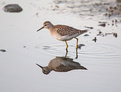 Wood Sandpiper photographed at Claire Mare [CLA] on 30/8/2016. Photo: © Mike Cunningham