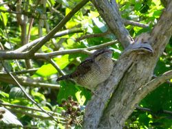 Wryneck photographed at Les Amarreurs [AMM] on 30/8/2016. Photo: © Mark Guppy