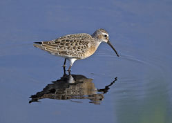 Curlew Sandpiper photographed at Claire Mare [CLA] on 31/8/2016. Photo: © Mike Cunningham