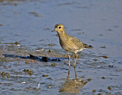Golden Plover photographed at Claire Mare [CLA] on 31/8/2016. Photo: © Mike Cunningham