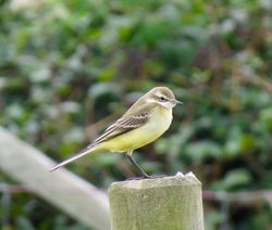 Yellow Wagtail photographed at Mt. Herault [MHE] on 5/9/2016. Photo: © Mark Guppy