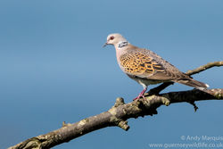 Turtle Dove photographed at Les Grantez, CAT [LGZ] on 6/9/2016. Photo: © Andy Marquis
