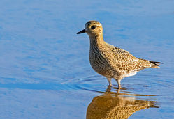 Golden Plover photographed at Claire Mare [CLA] on 6/9/2016. Photo: © Anthony Loaring