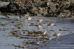 Bar-tailed Godwit photographed at L'Eree [LER] on 10/9/2016. Photo: © Andy Marquis