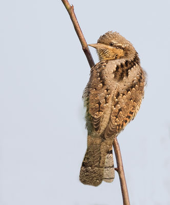 Wryneck photographed at Pleinmont [PLE] on 10/9/2016. Photo: © Anthony Loaring