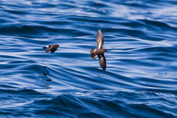Storm Petrel photographed at Pelagic [PEL] on 11/9/2016. Photo: © Derek Bridel