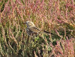 Lapland Bunting photographed at Fort Hommet [HOM] on 17/9/2016. Photo: © Mark Guppy