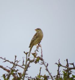 Ortolan Bunting photographed at Rue des Hougues, STA [H04] on 18/9/2016. Photo: © Mark Guppy
